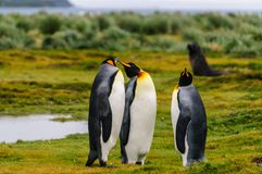 K?nig Penguins auf Salisbury-Ebenen lizenzfreie stockbilder