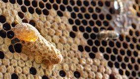 K?nigin \ ?s-Nest in einem Bienenstock Mutterlauge lizenzfreies stockfoto