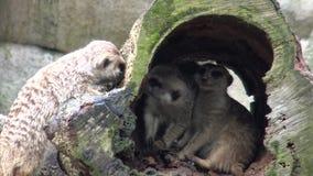 4k o meerkat ou o suricate (suricatta do Suricata) no jardim zoológico video estoque