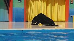 Kłonienie foka Zdjęcie Stock