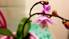 4K Orchid blooms, timelaps stock footage