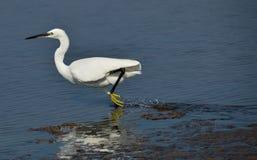 körande white för egret Fotografering för Bildbyråer