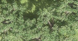 4k overlook eagle & birds flying over tree from the sky,rural scene. stock video