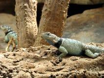 Kąpanie jaszczurka zdjęcia royalty free