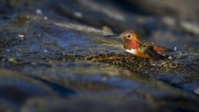 Kąpanie ptak Obrazy Royalty Free