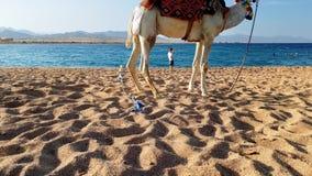 4k panning lengte die van mooie witte kameel zich op het zand tegen blauwe kalme overzees bij zonsondergang bevinden Perfect scho stock footage