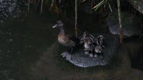 4k, patos do pato selvagem do bebê e patinhos em uma rocha ou no rio filme