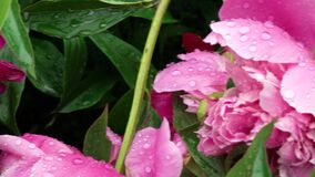 4k. Peony flowers with drop of water after rain. Macro. A narrow zone of sharpness.