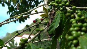 4K, pianta del caffè con le bacche rosse e verdi sui rami alla piantagione di caffè archivi video