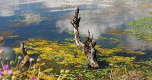 4k pican el bipinnatus del cosmos, marchitado en agua, montaña y la nube refleja en el lago almacen de metraje de vídeo