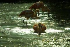 Kąpielowiczy flamingi Fotografia Stock
