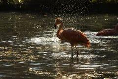 Kąpielowiczy flamingi Obraz Stock