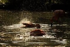 Kąpielowiczy flamingi Obrazy Stock