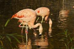 Kąpielowiczy flamingi Zdjęcie Royalty Free