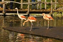 Kąpielowiczy flamingi Zdjęcia Stock