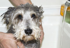 kąpielowy pies Zdjęcia Royalty Free