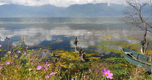 4k pink cosmos bipinnatus,withered in water,mountain & cloud reflect on lake. 4k pink cosmos bipinnatus,withered tree in water,cangshan mountain background stock footage