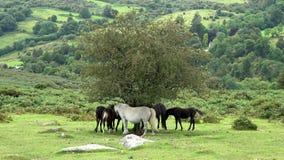 4K : Poneys se tenant sous un vieil arbre clips vidéos