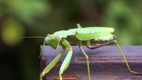 4K Ponga verde el predicador de rogaci?n El insecto está caminando Hojas y vegetación almacen de video