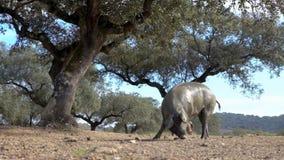 4K, porcos ibéricos pretos através dos carvalhos na paisagem do dehesa da Espanha video estoque