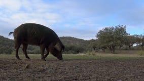 4K, porcos ibéricos pretos através dos carvalhos na paisagem do dehesa da Espanha filme