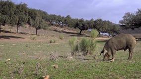 4K, porcos ibéricos pretos através dos carvalhos na paisagem do dehesa da Espanha vídeos de arquivo