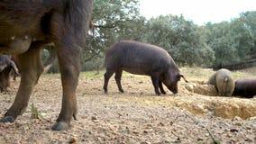 4K, porcos ibéricos pretos que pastam através dos carvalhos na pastagem da Espanha video estoque