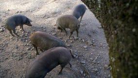 4K, porcos ibéricos pretos que pastam através dos carvalhos na pastagem da Espanha filme