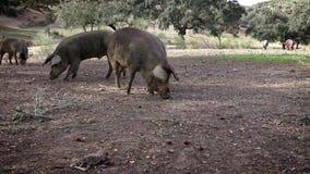4K, porcos ibéricos pretos que pastam através dos carvalhos na pastagem da Espanha vídeos de arquivo