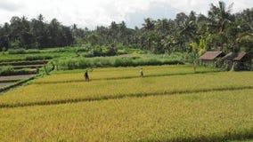 4K powietrzny latający wideo potomstwo pary spotkanie na ryż polach blisko do wulkanu Agung, Bali wyspa zdjęcia royalty free