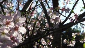 4K prachtig close-up van bloeiende kersentak Mooie het bloeien sakura stock videobeelden