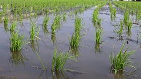 4K, primer de los campos verdes hermosos del arroz en el campo Tainan, Taiwán metrajes