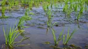 4K, primer de los campos verdes hermosos del arroz en el campo Tainan, Taiwán almacen de video
