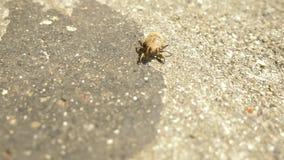 4k, primer una larva de la cigarra que se arrastra a lo largo del asfalto metrajes