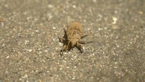 4k, primo piano una larva della cicala che striscia lungo l'asfalto archivi video
