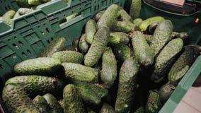 4k, productos vegetales del pepino que crecen de la granja orgánica cruda verde fresca lista a enviado al supermercado metrajes