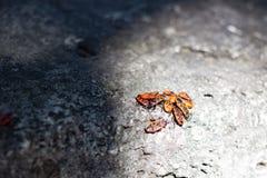 Kępy firebug na kamieniu Zdjęcia Royalty Free