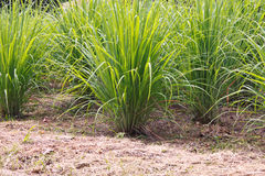 kępy lemongrass Zdjęcia Stock