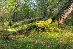 Kępy mech na bazie drzewa w Polskim lesie i ziemi Obrazy Royalty Free