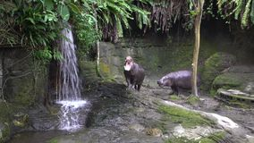 4K Pygmy Hippo open mouth, sign of aggressiveness. Defend a territory in zoo. 4K Pygmy Hippo open the mouth, threatening sign of its aggressiveness. Defend a stock video footage
