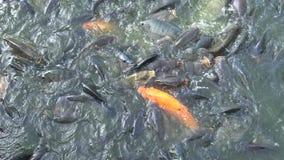 4K que alimenta a Koi Carp In The Pond en Taiwán metrajes