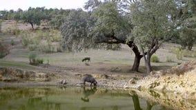 4K, río ibérico negro del agua potable de los cerdos a través de los robles en campo almacen de metraje de vídeo