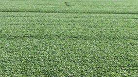 4K r Муха над зеленым аграрным полем лета видеоматериал