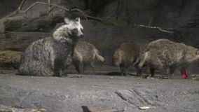 4k raccoon dog (Nyctereutes procyonoides) in a dark cave of the zoo. Dan stock video