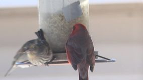 4k Red American Cardinal eating food from bird feeder stock video