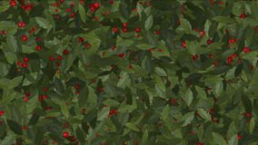 4k Red winter berries cherry fruit on holly vegetation plant growing. 6838_4k stock footage