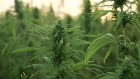 4k resolution video of close up cannabis leafs and narcotic bud in hemp plantation. With sun flare in sunset. Medicinal