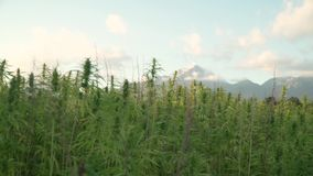 4k resolution video of focus shift from cannabis leafs and narcotic buds in hemp plantation to mountains in the back. 4k resolution video of sun shining trough stock footage
