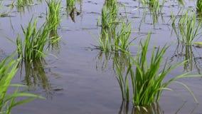 4K, risskördar och bakgrund för jordbruksmark för natur för vattenlantgårdlandskap på Taiwan lager videofilmer