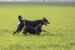 K?rning f?r Appenzeller berghund med en labradorblandningvalp utomhus royaltyfri bild